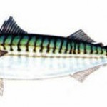 Atlantic Mackeral